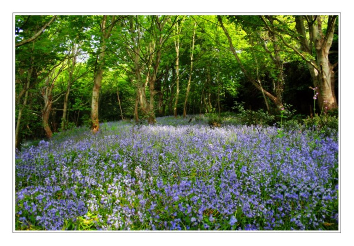 Bluebell Woods, picture courtesy of http://www.pbase.com/steveneville/image/60139783