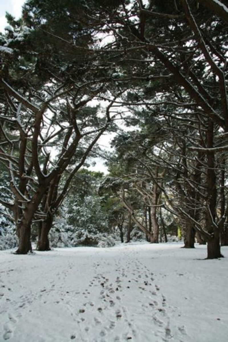 The Guet, (Pine Forest), picture courtesy of http://www.lizkerrphotos.co.uk/galleries/Landscape%20Gallery/index.html