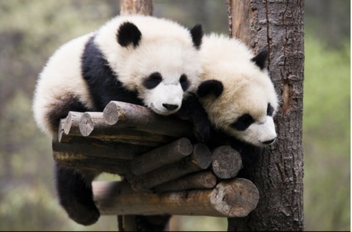 panda bears sleeping