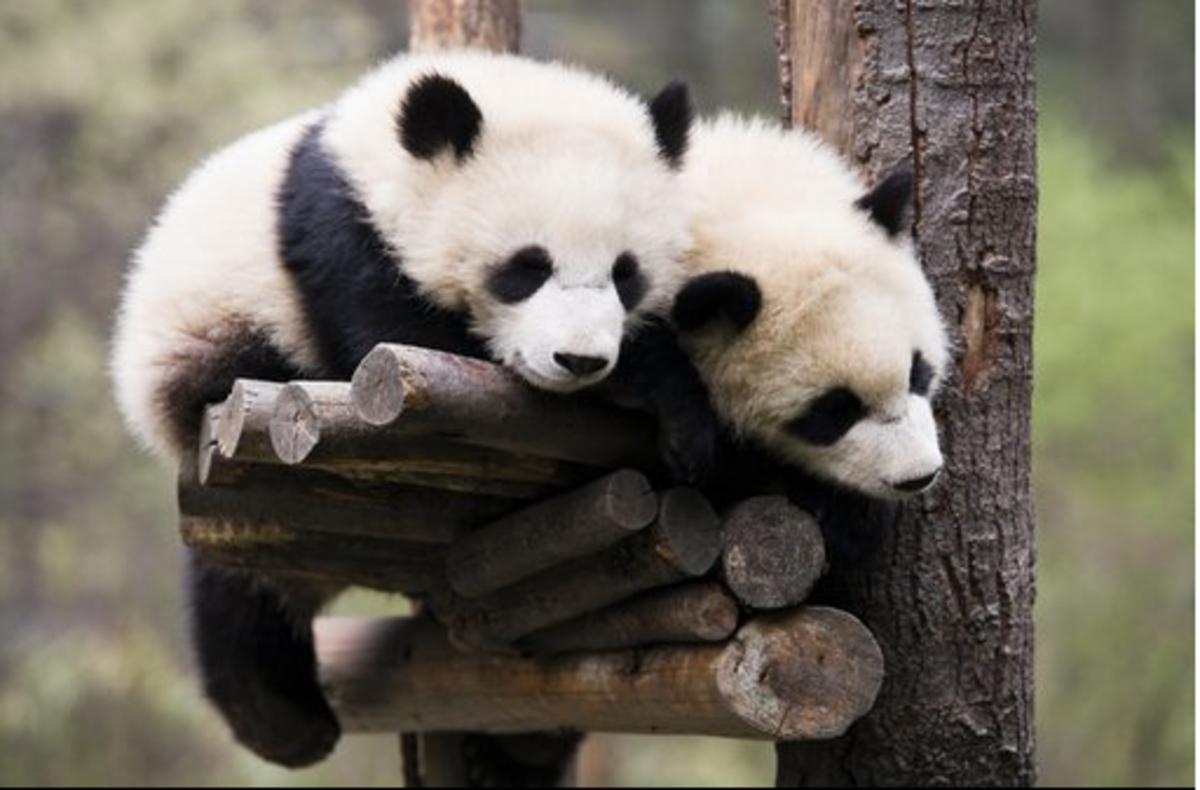 panda bears sleeping