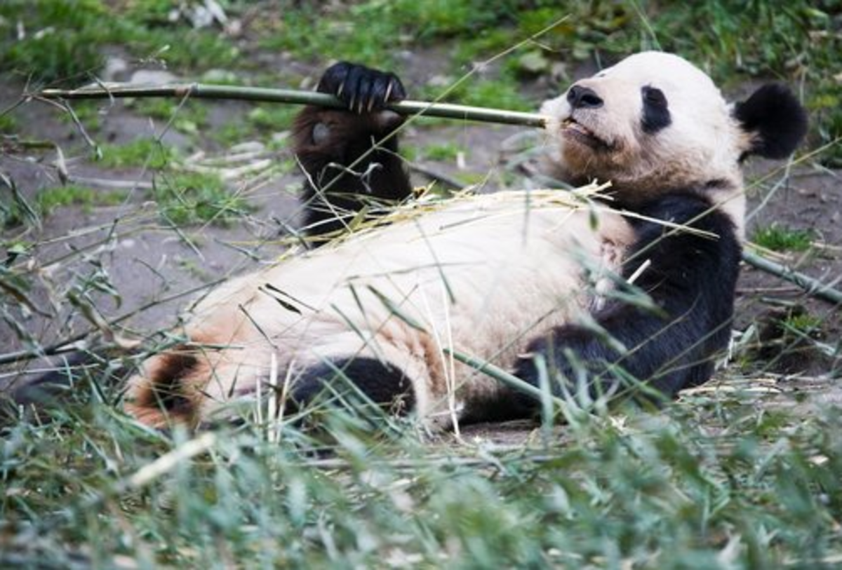 10 Silly, but True Panda Facts