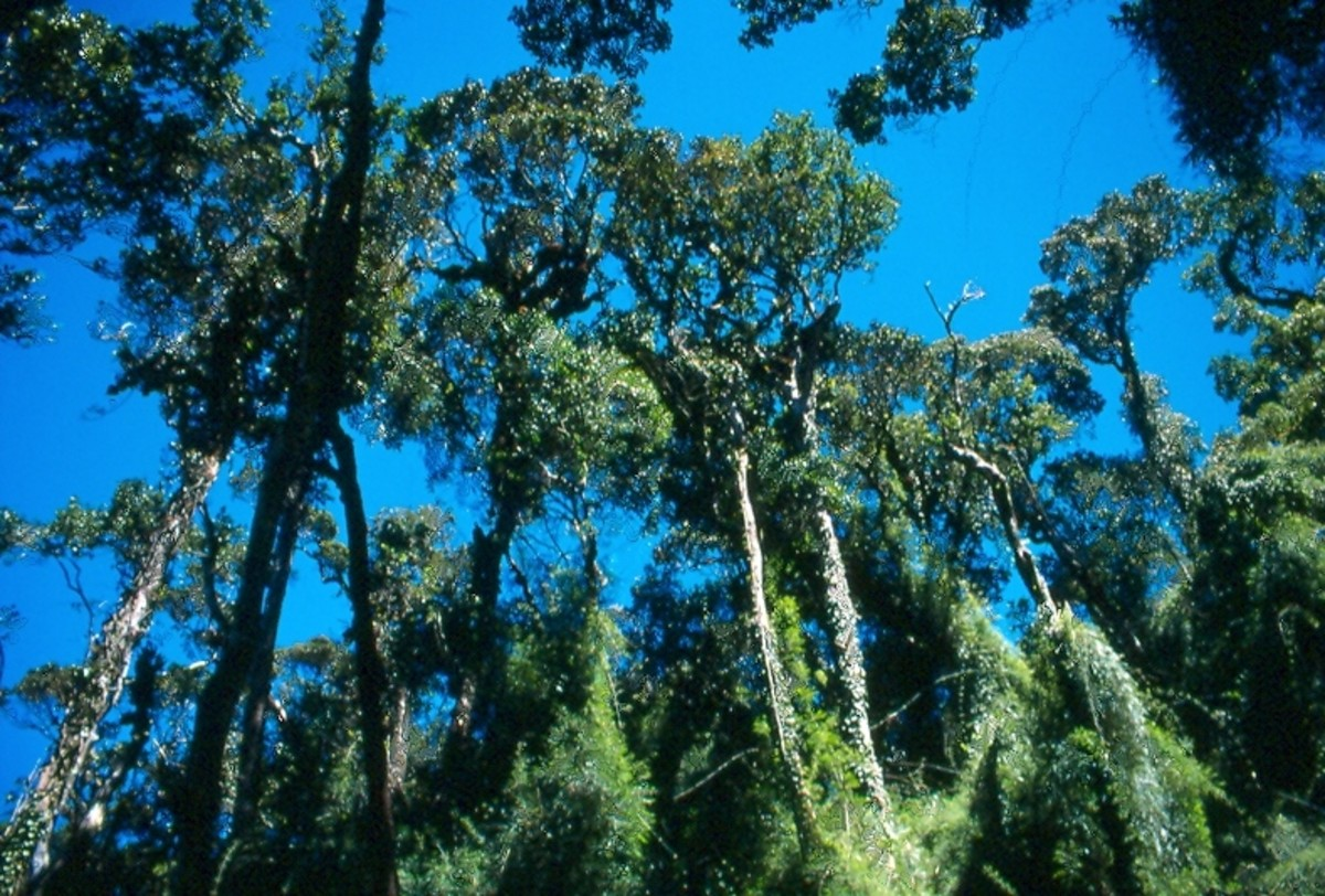 The canopy of the tropical montane rainforest along the trail near Carsons Falls.