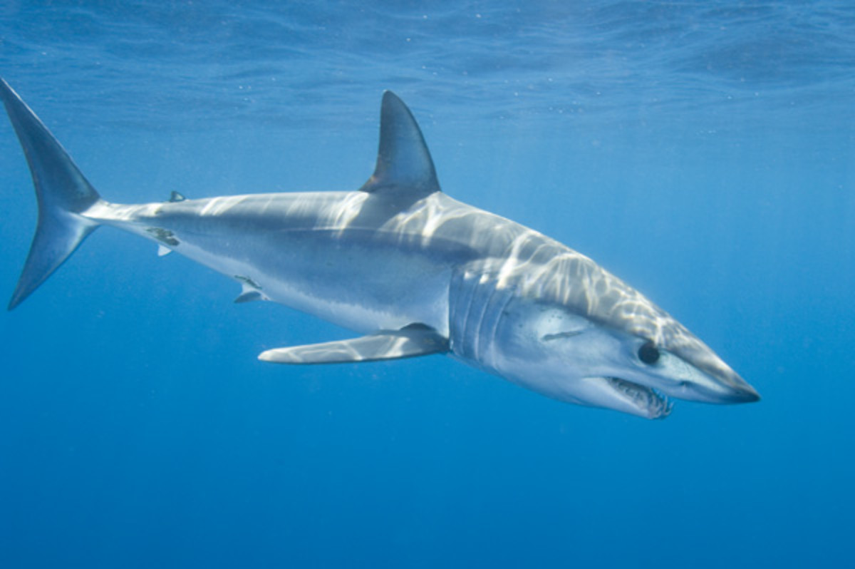 Top 5 most deadly sharks for human beings!