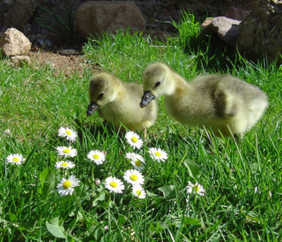 Only two weeks old and these goslings are already hard at work managing grass.