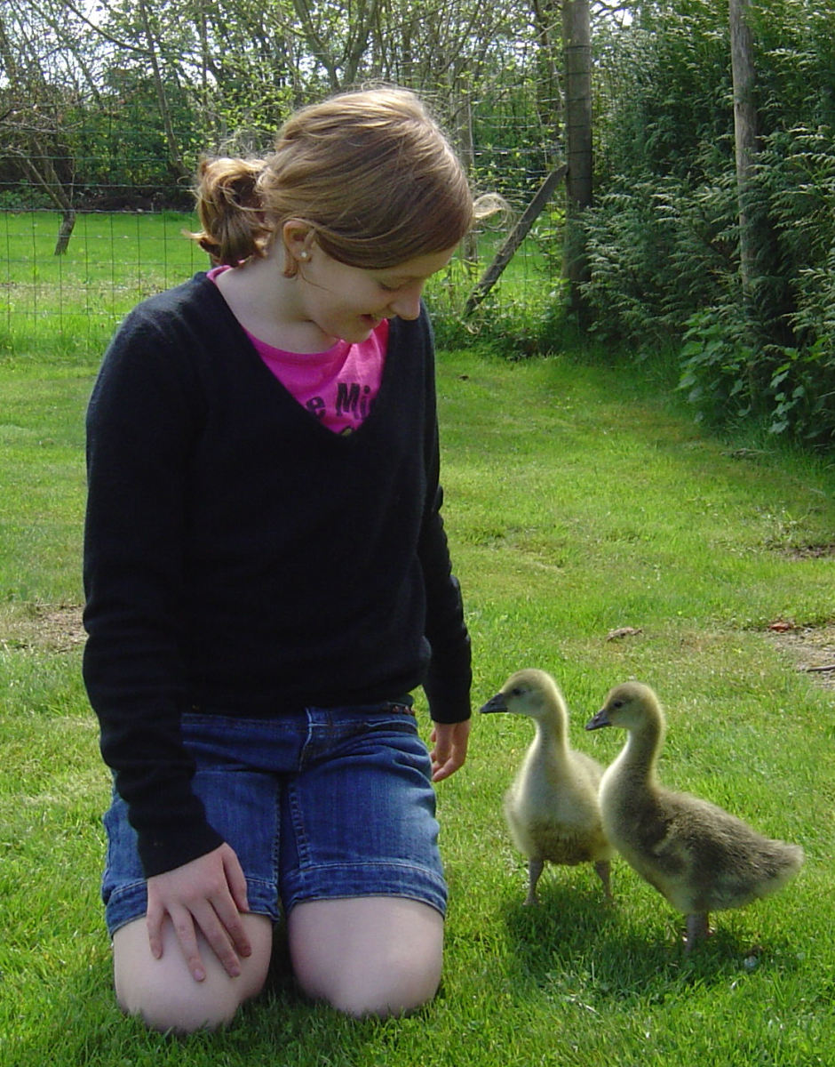 Right from birth goslings prefer to be with people