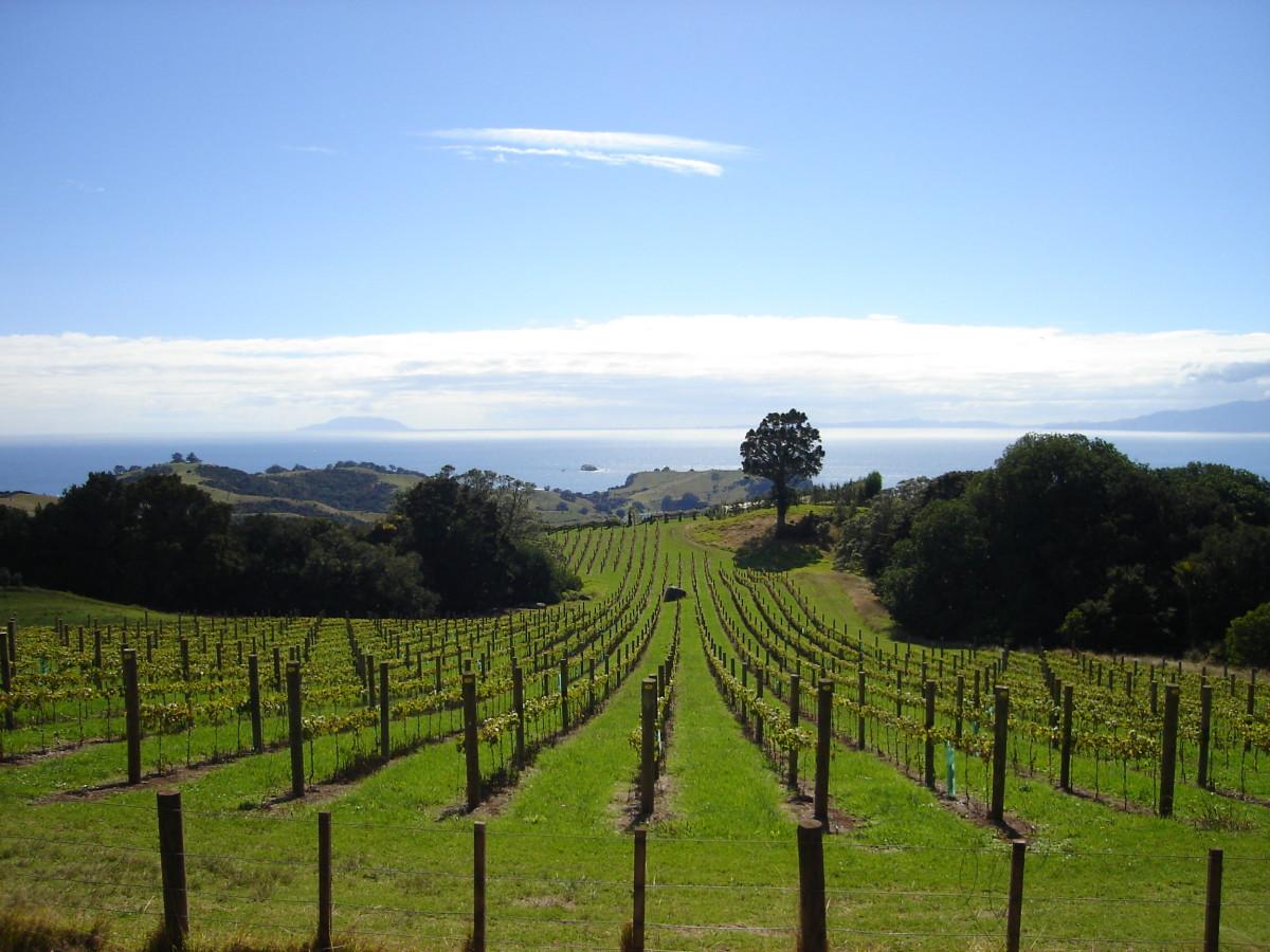 A typical vineyard