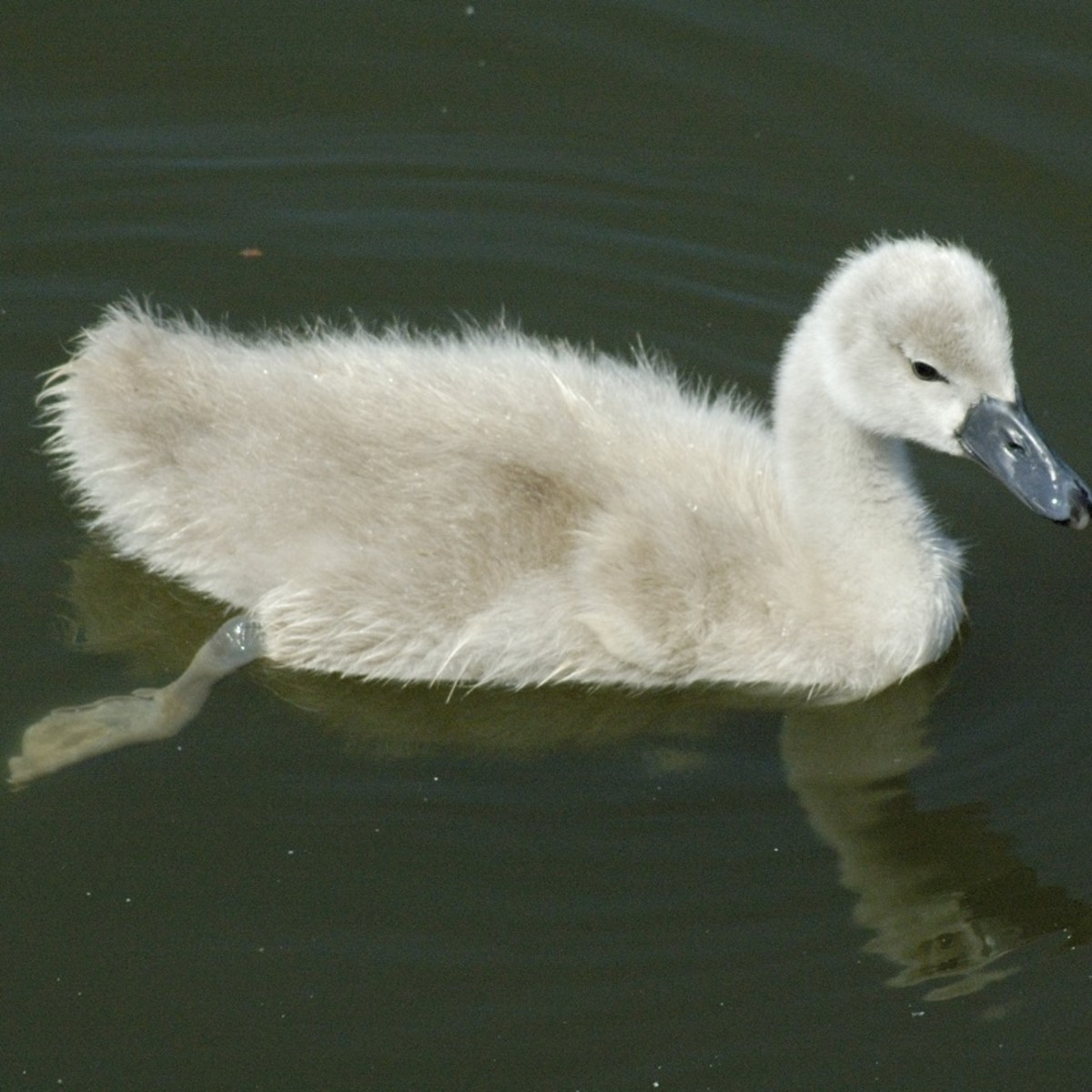 Promoting Critical Literacy with The Ugly Duckling