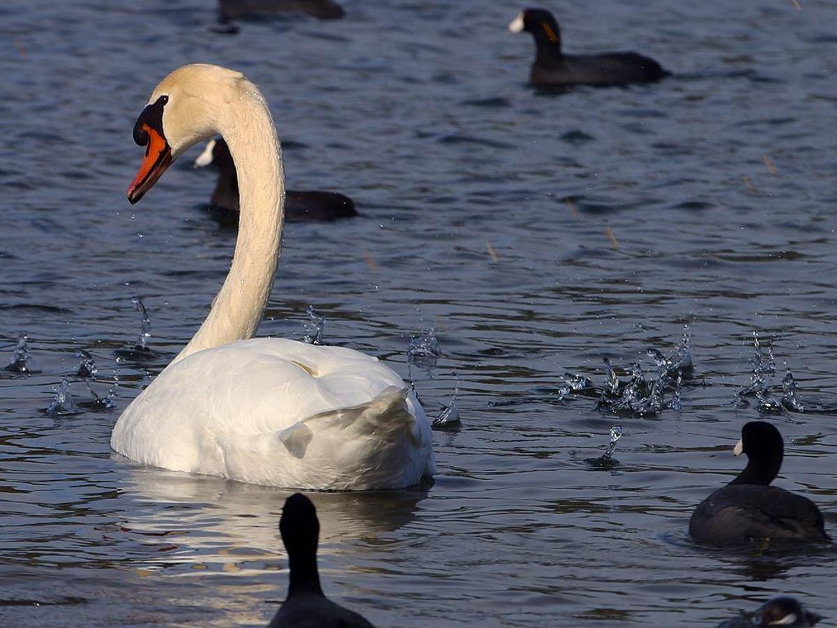 """Swan and Black """"Ducklings"""""""
