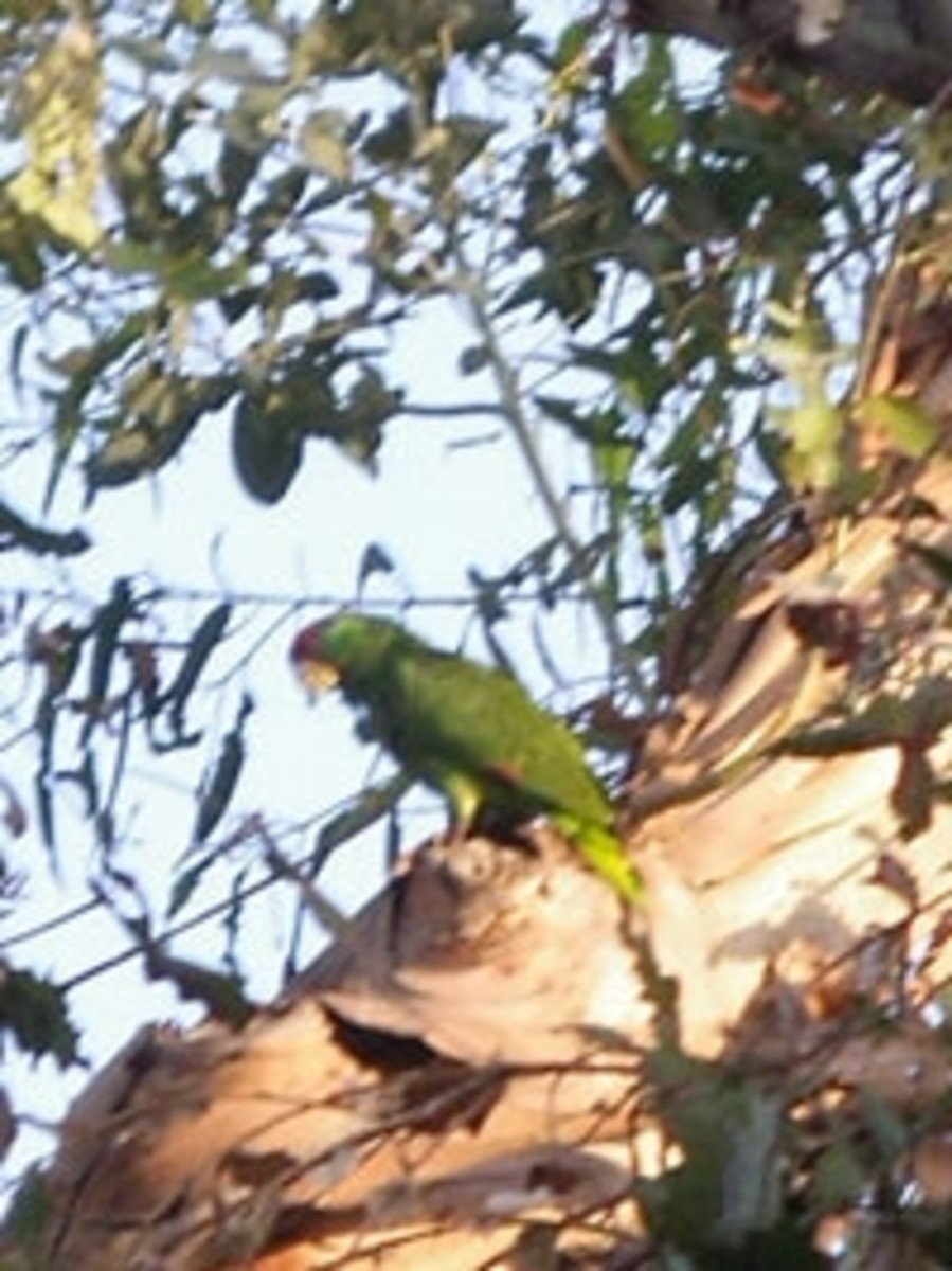 Red-Crowned Parrot, May 2009
