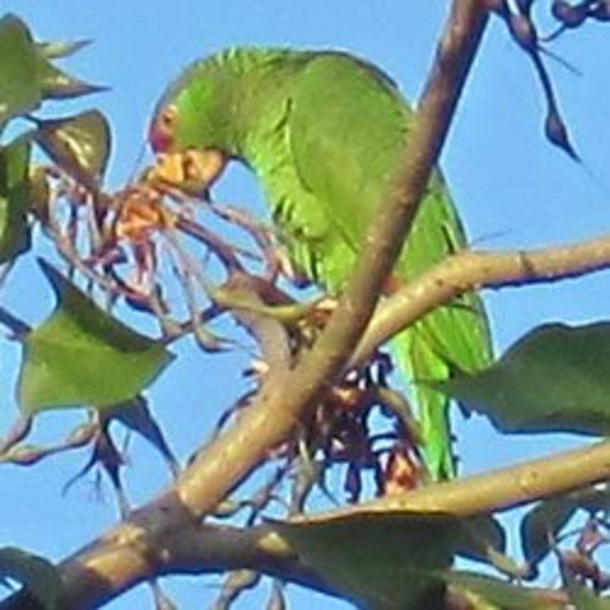 Wild Parrots of Southern California: Red-Crowned Parrots