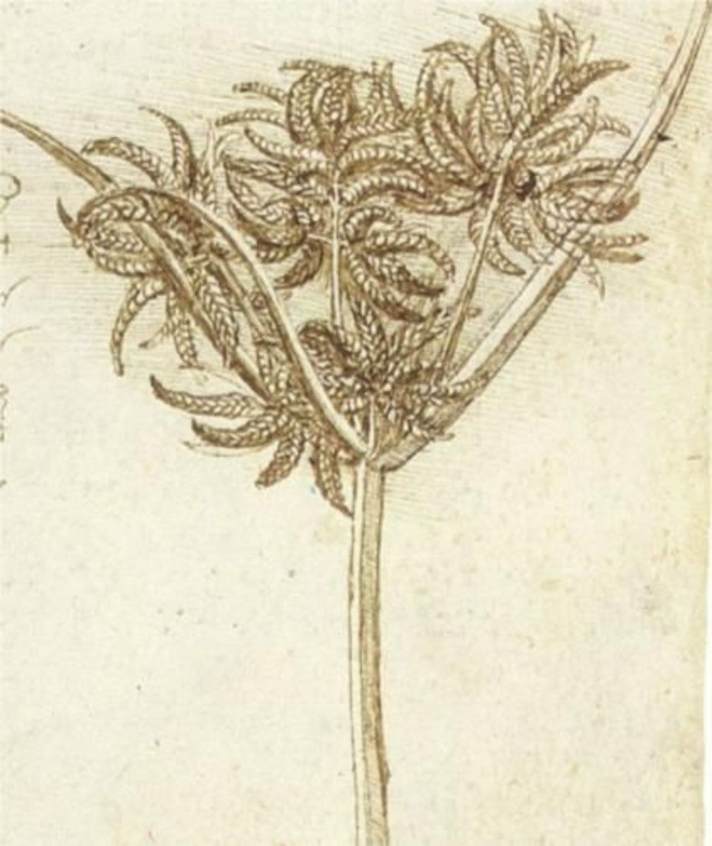 Sedge by Leonardo da Vinci