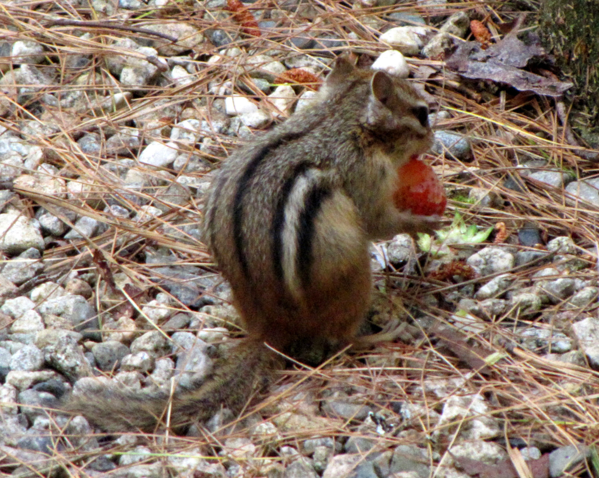 The chipmunks love stealing all the strawberries from my patch.