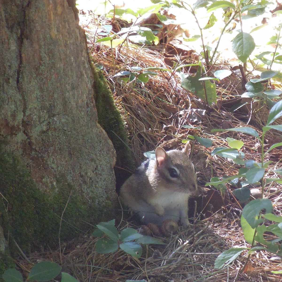 Chipmunk next to his home. Notice the opening in the tree stump next to him.