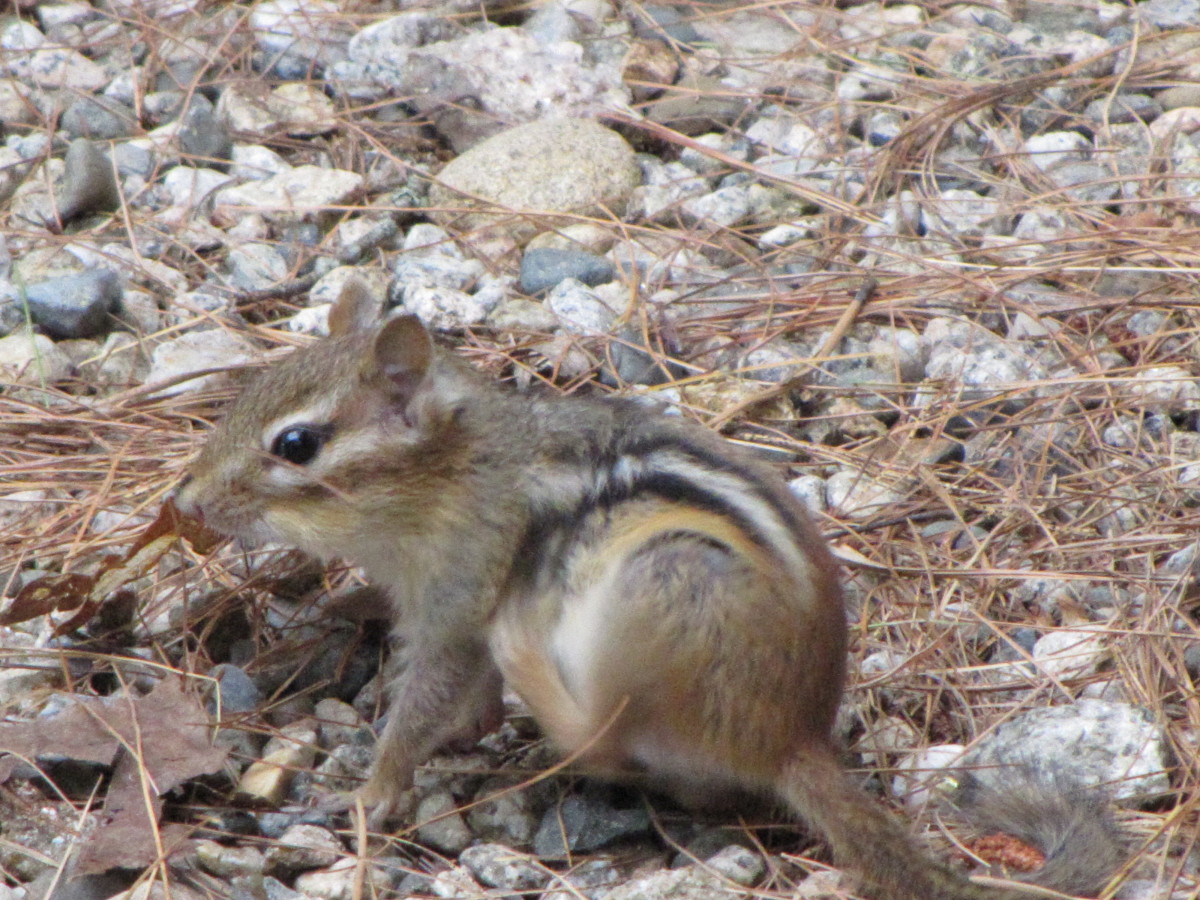 Fun Facts About Chipmunks | HubPages