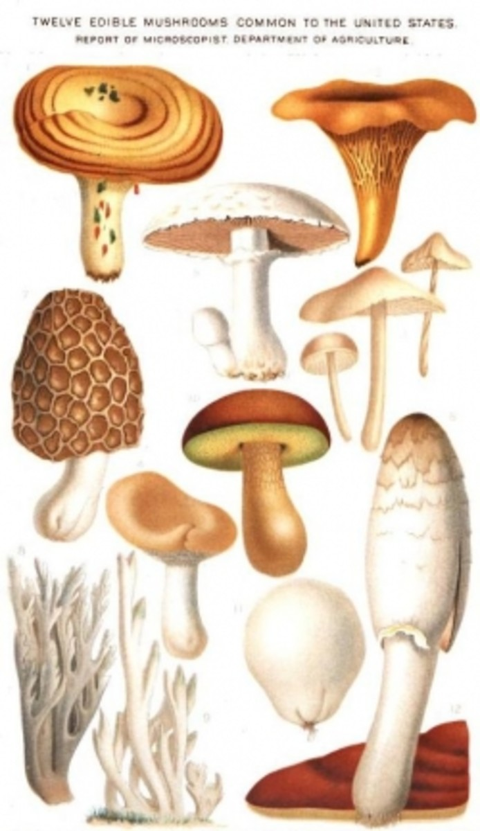 Edible wild mushrooms image from USDA and is in the public domain