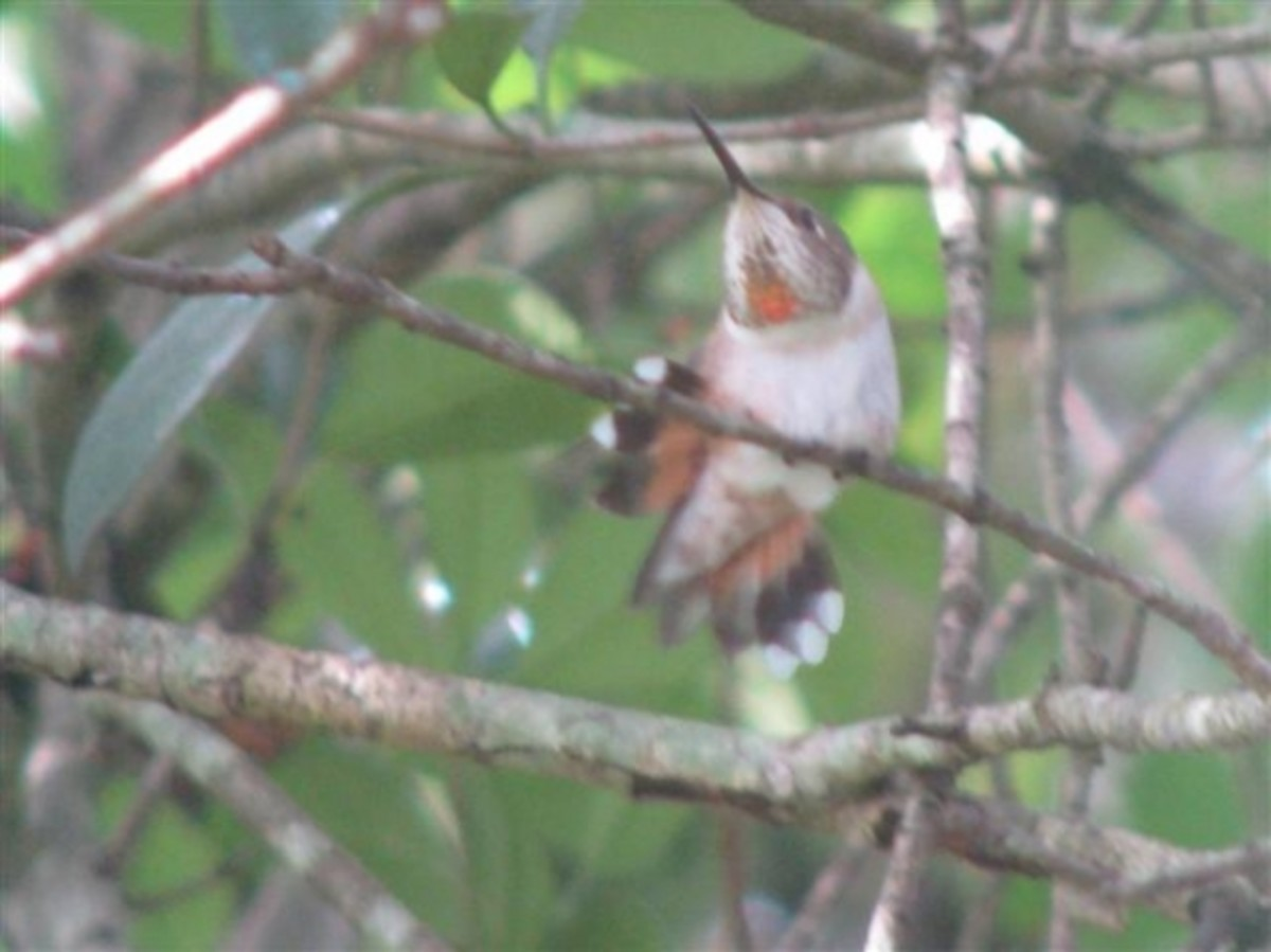 Tail feathers of Rufous Female with band, August, 2010