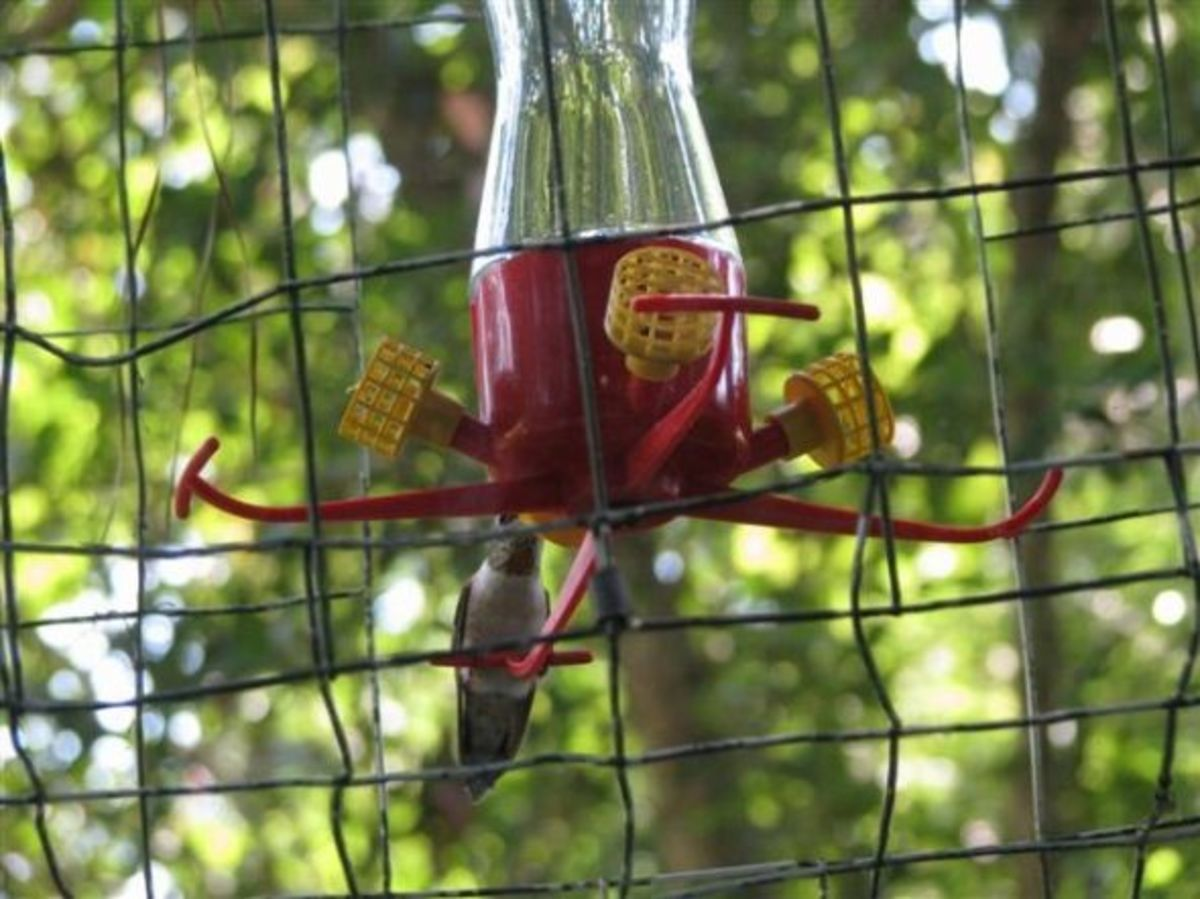 Rufous Visits Dummy Trap
