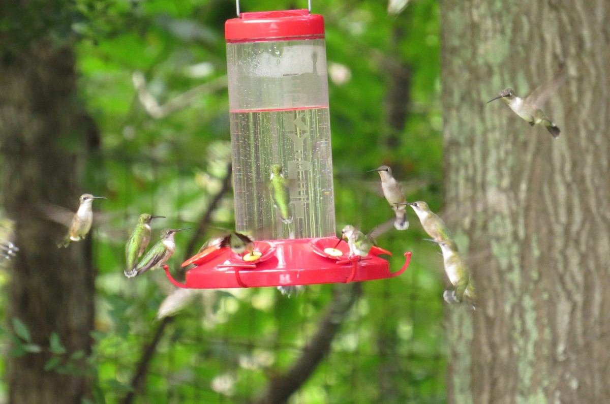 In the Tunica Hills near St. Francisville, Ruby-throats crowd around a jumbo feeder.