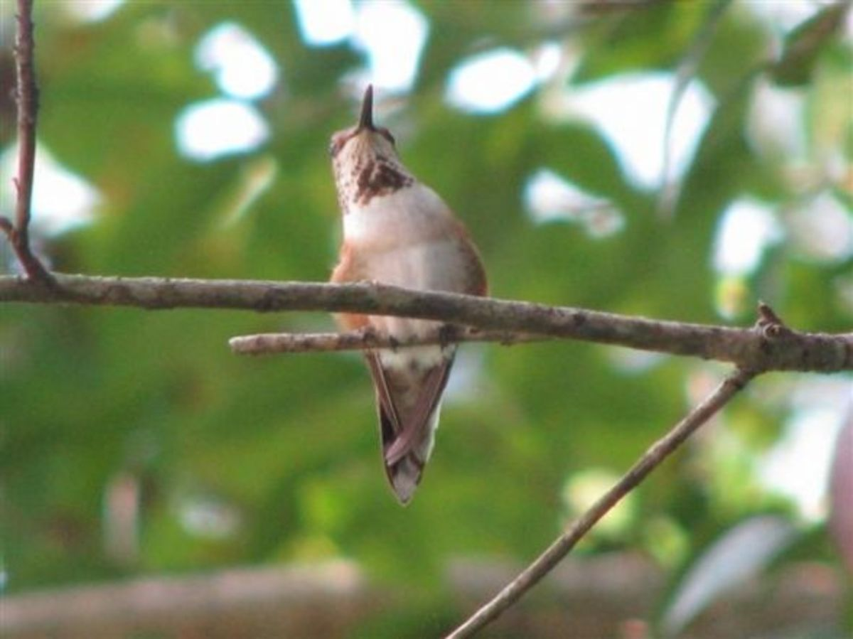 Head and throat patch of Rufous Female with band, August, 2010