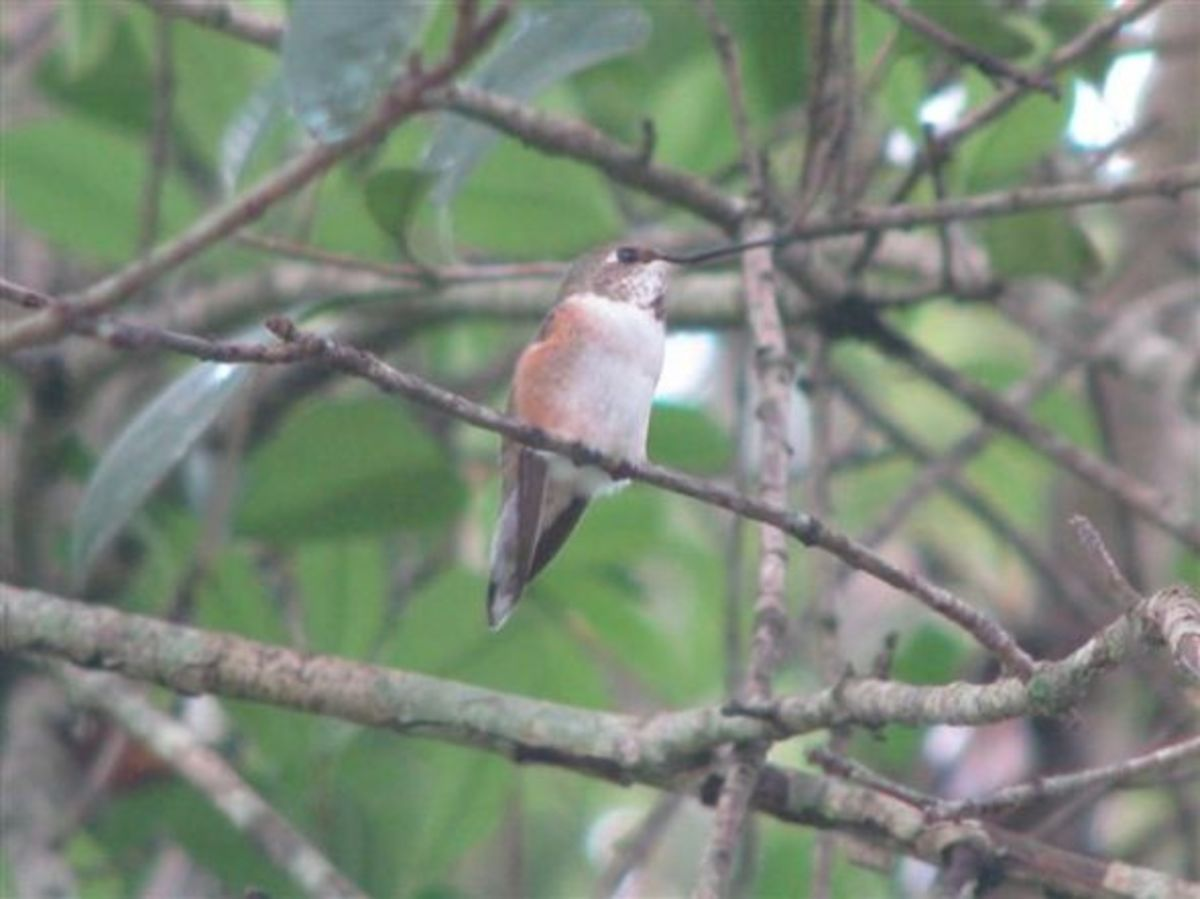 Rufous Female with Band