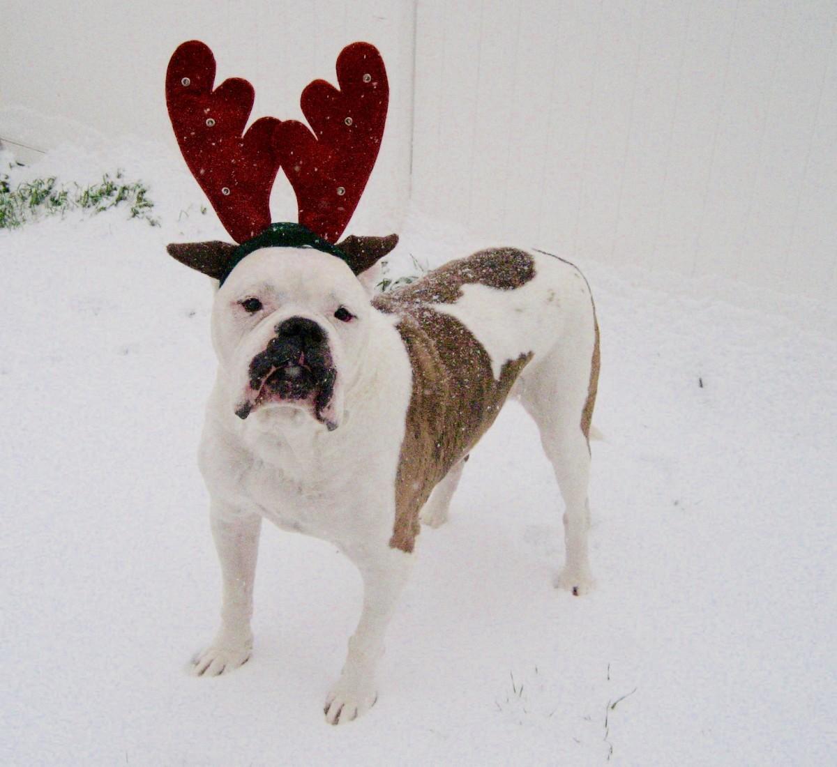 A 125 Pound American Bulldog