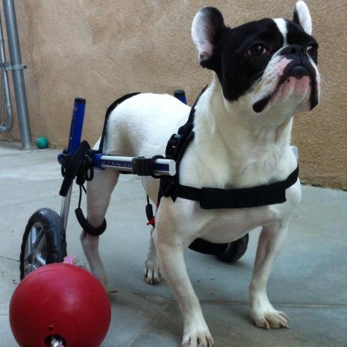 Walter the French Bulldog