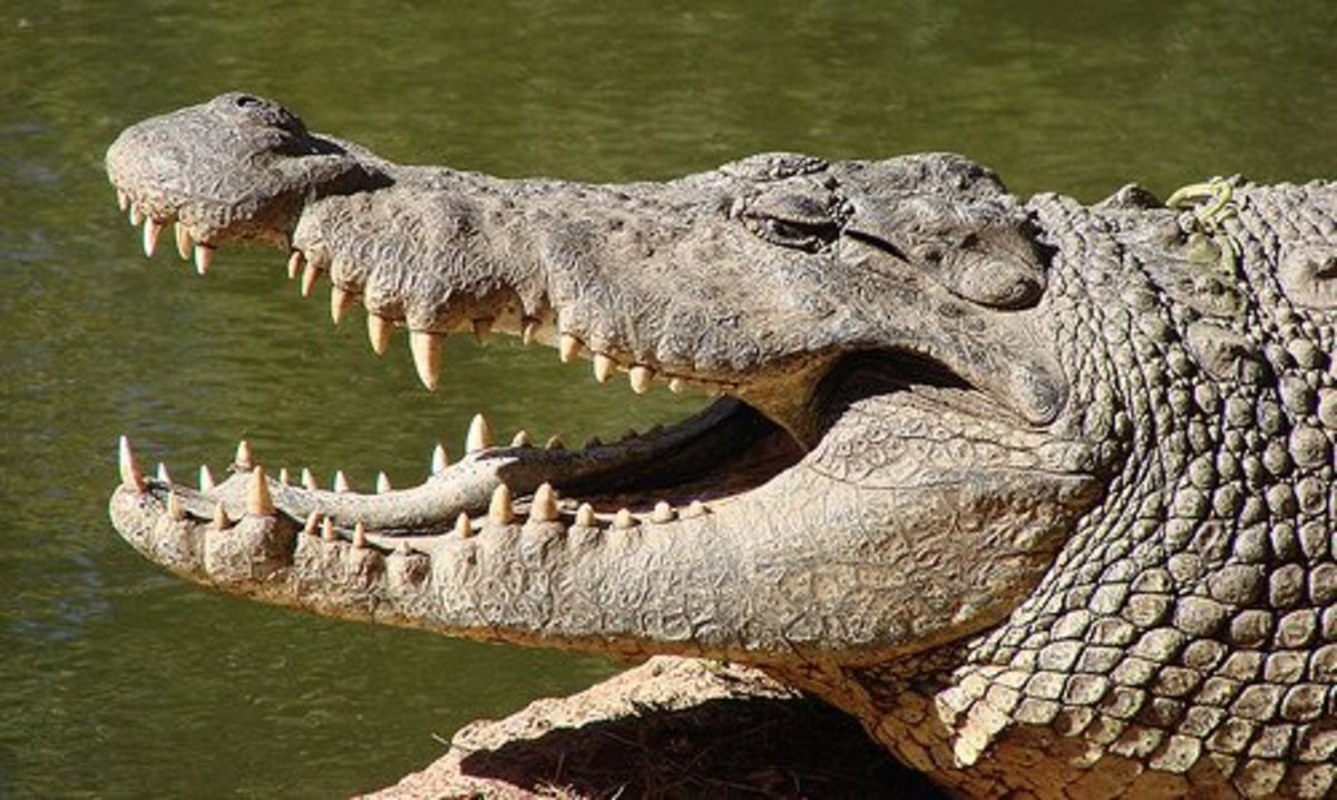 How To Sex A Crocodile