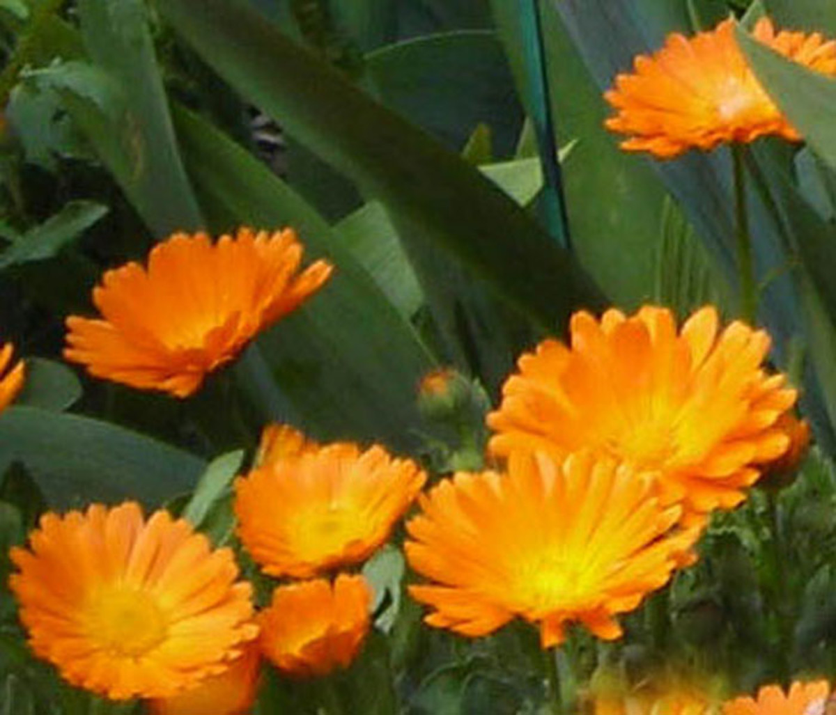 Marigolds (also known as Calendula)