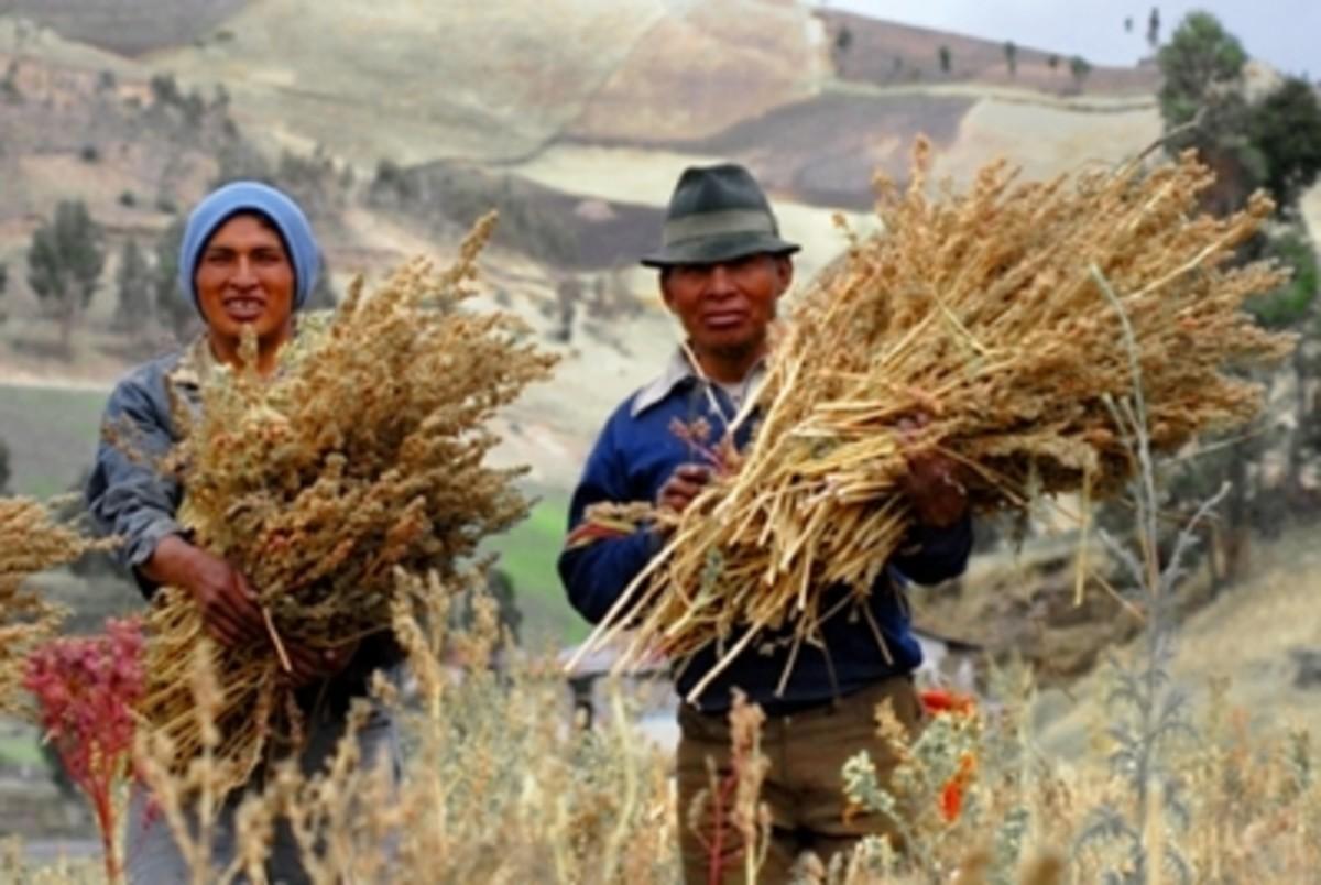 Harvesting quinoa