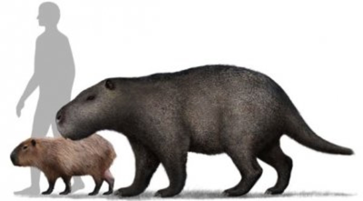 Size of the prehistoric rodent compared to man and the capybara!
