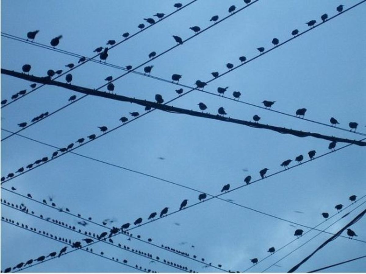 why-birds-like-to-sit-on-power-lines