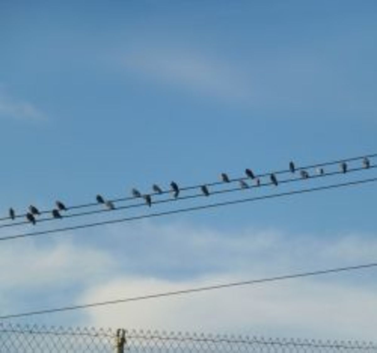 Why birds like to sit on power lines