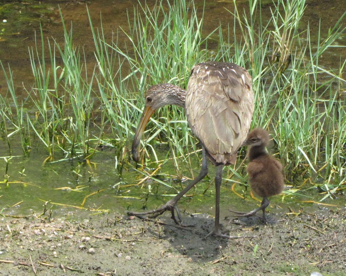 In this photo, you can see the limpkin's feet, suitable for wading in shallow, muddy areas.