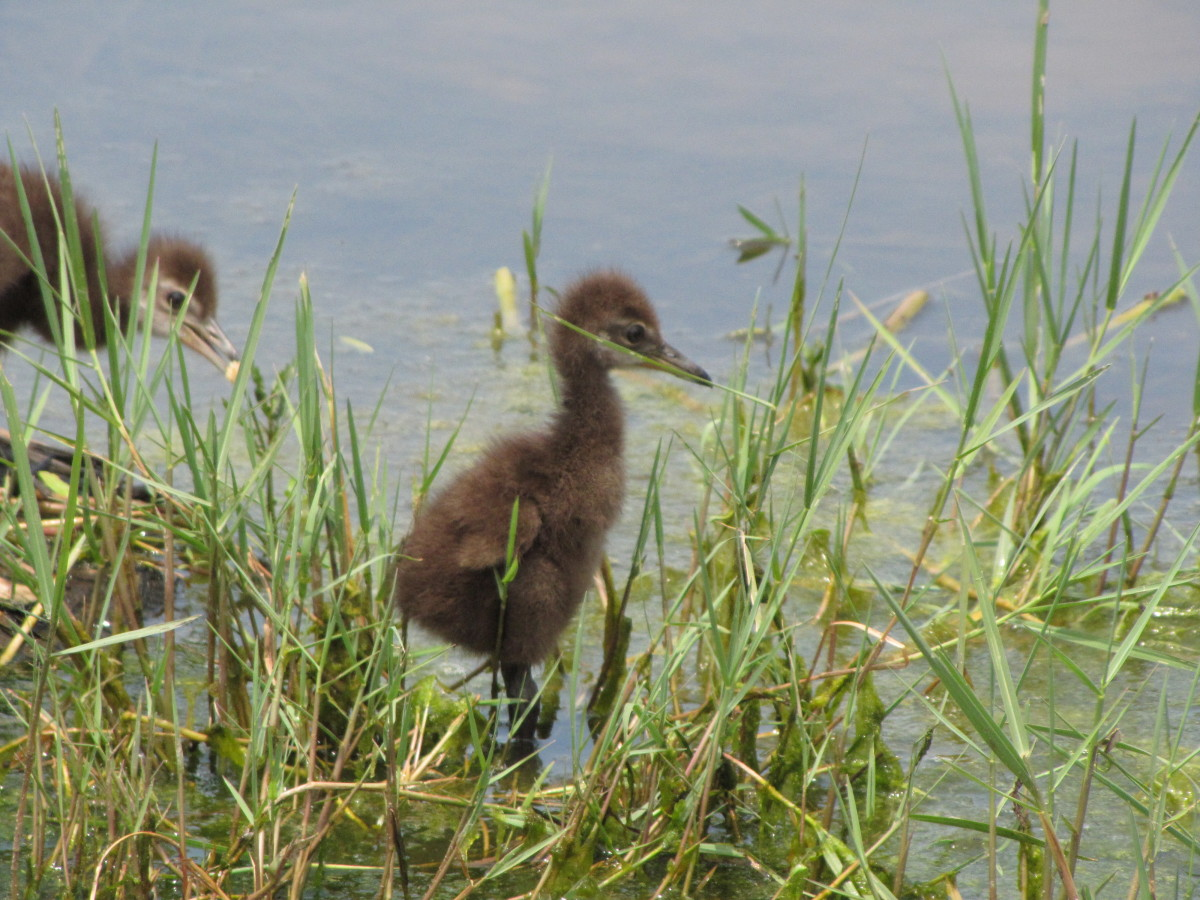 limpkin-chicks