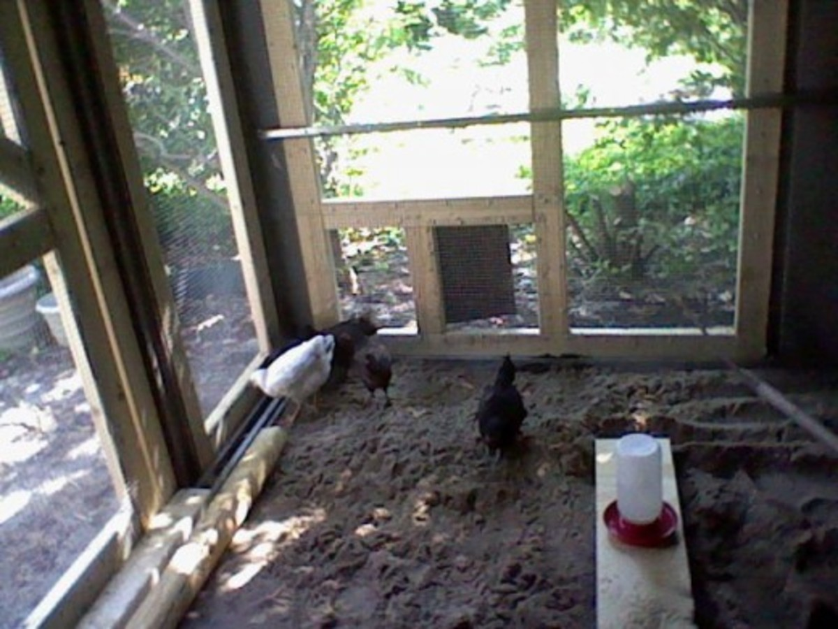 chickens enjoying their new chicken coop
