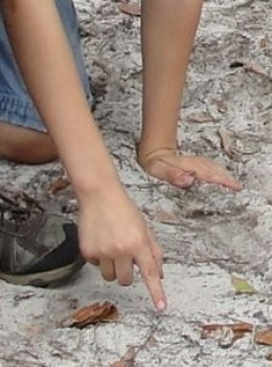 Identifying deer tracks during the tracking expedition from Lesson 1: Daniel Boone, Frontiersmen, & Tracking Lesson