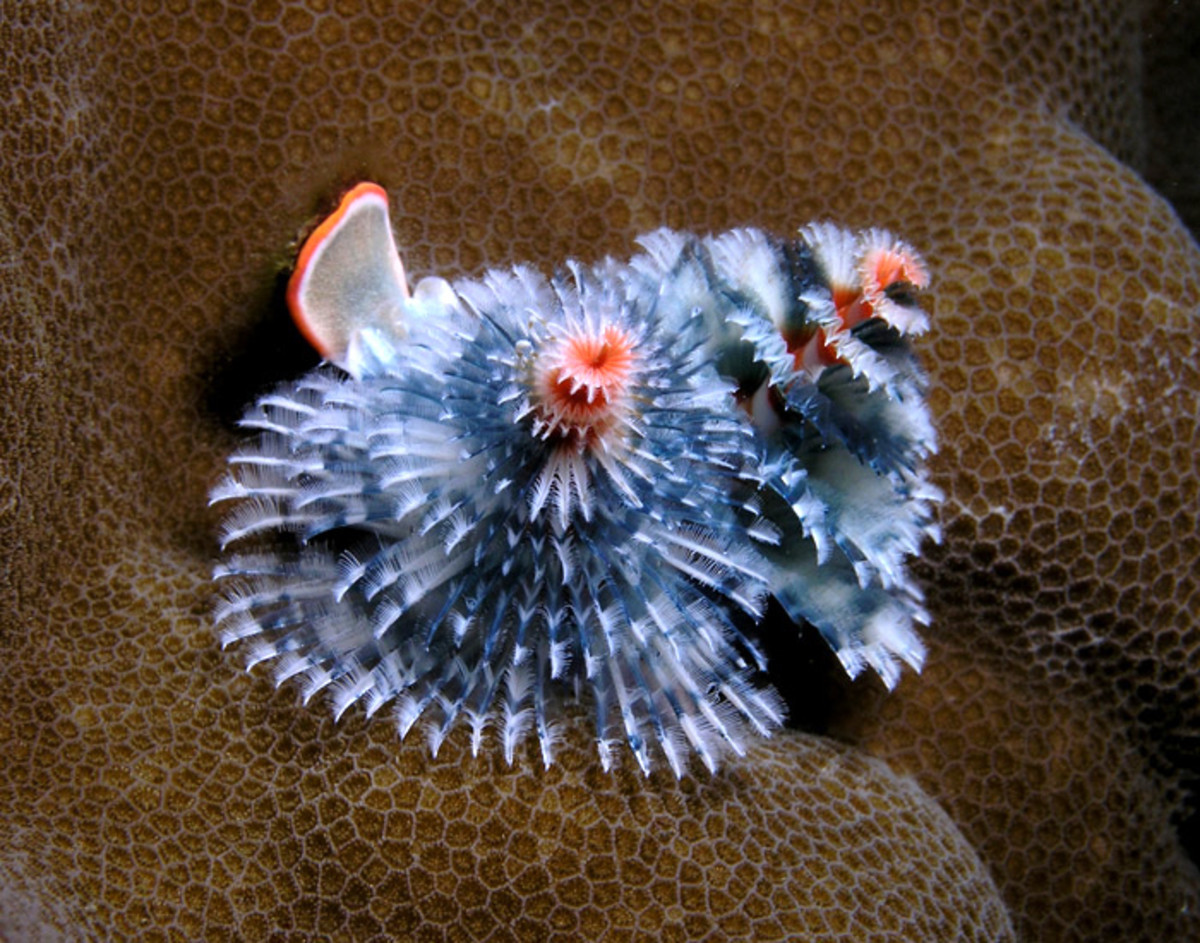 This photo shows clearly that Christmas tree worms are not limited to one color. This worm exhibits blue and orange as well as shades of black and white.