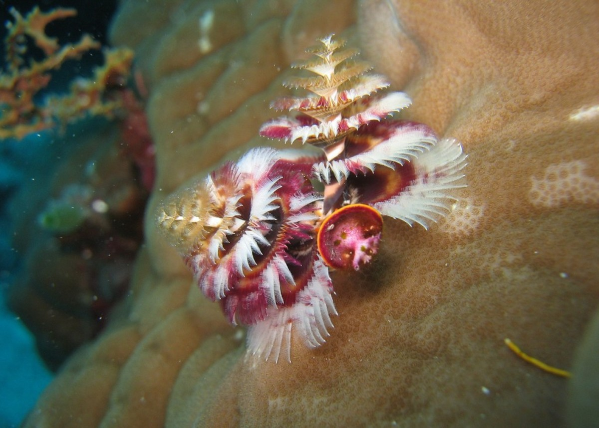Christmas Tree Worm in Porites coral. Admiralty, Osprey Reef, Coral Sea