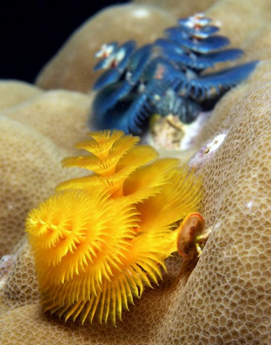 Christmas tree worms (Spirobranchus giganteus) from East Timor.