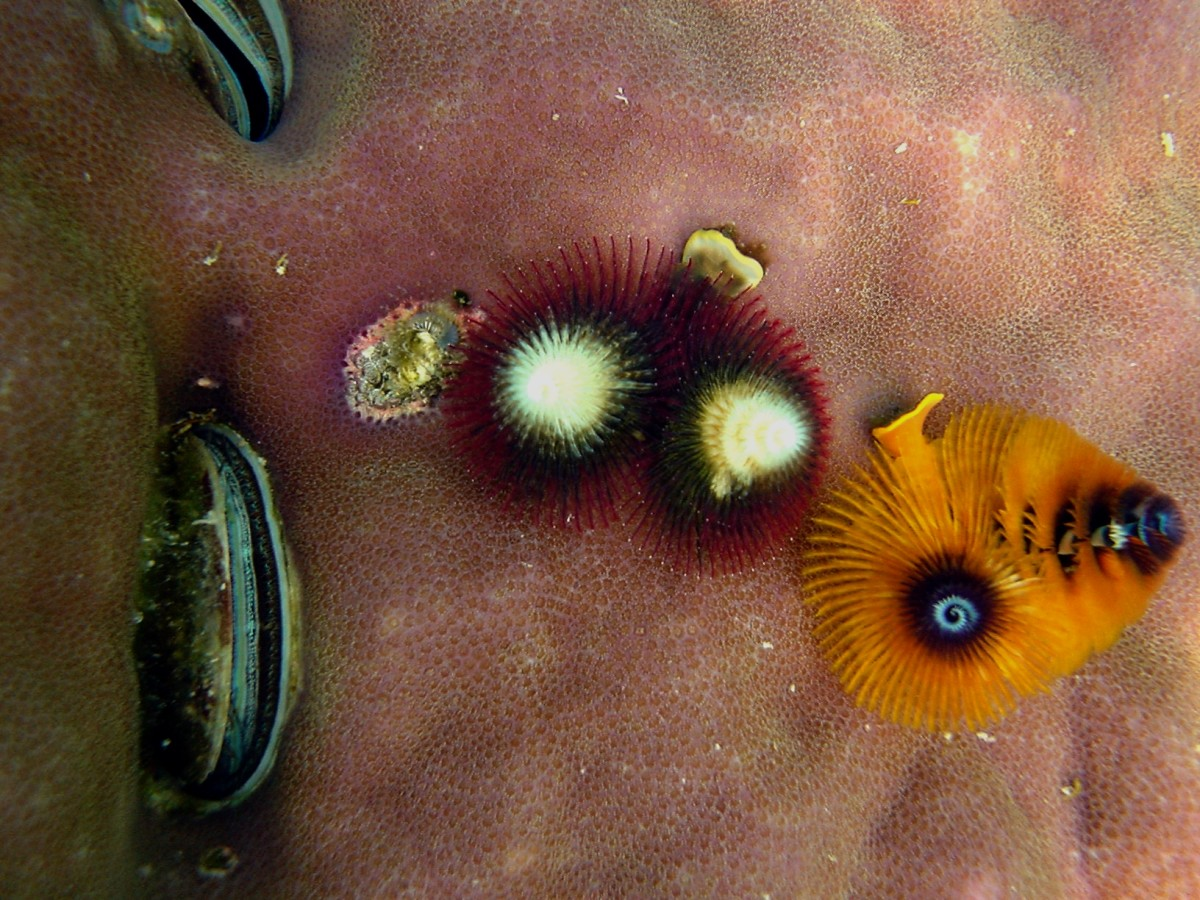 This picture shows the Christmas tree worm, Spirobranchus giganteus, and was captured in Papua New Guinea.