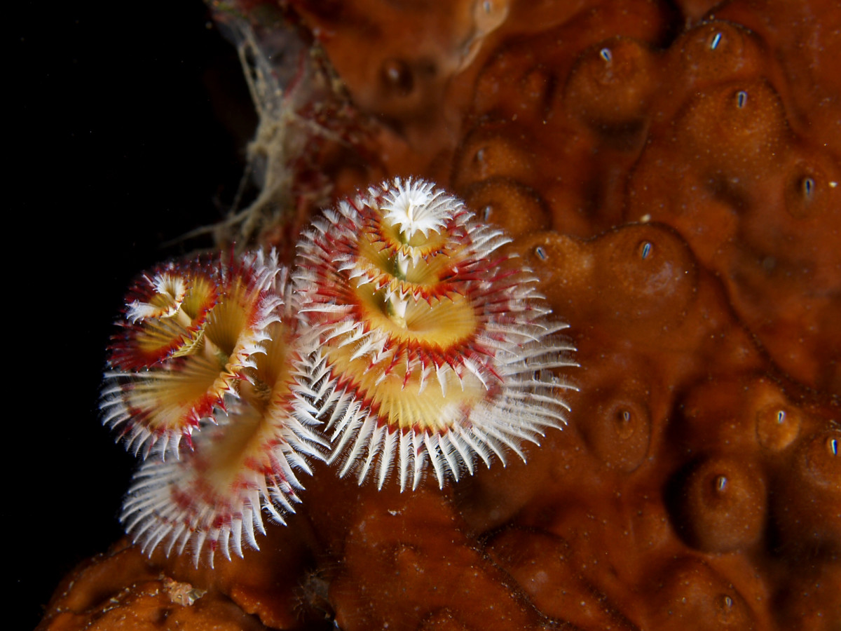 This is another great example of a multicolored Christmas tree worm.