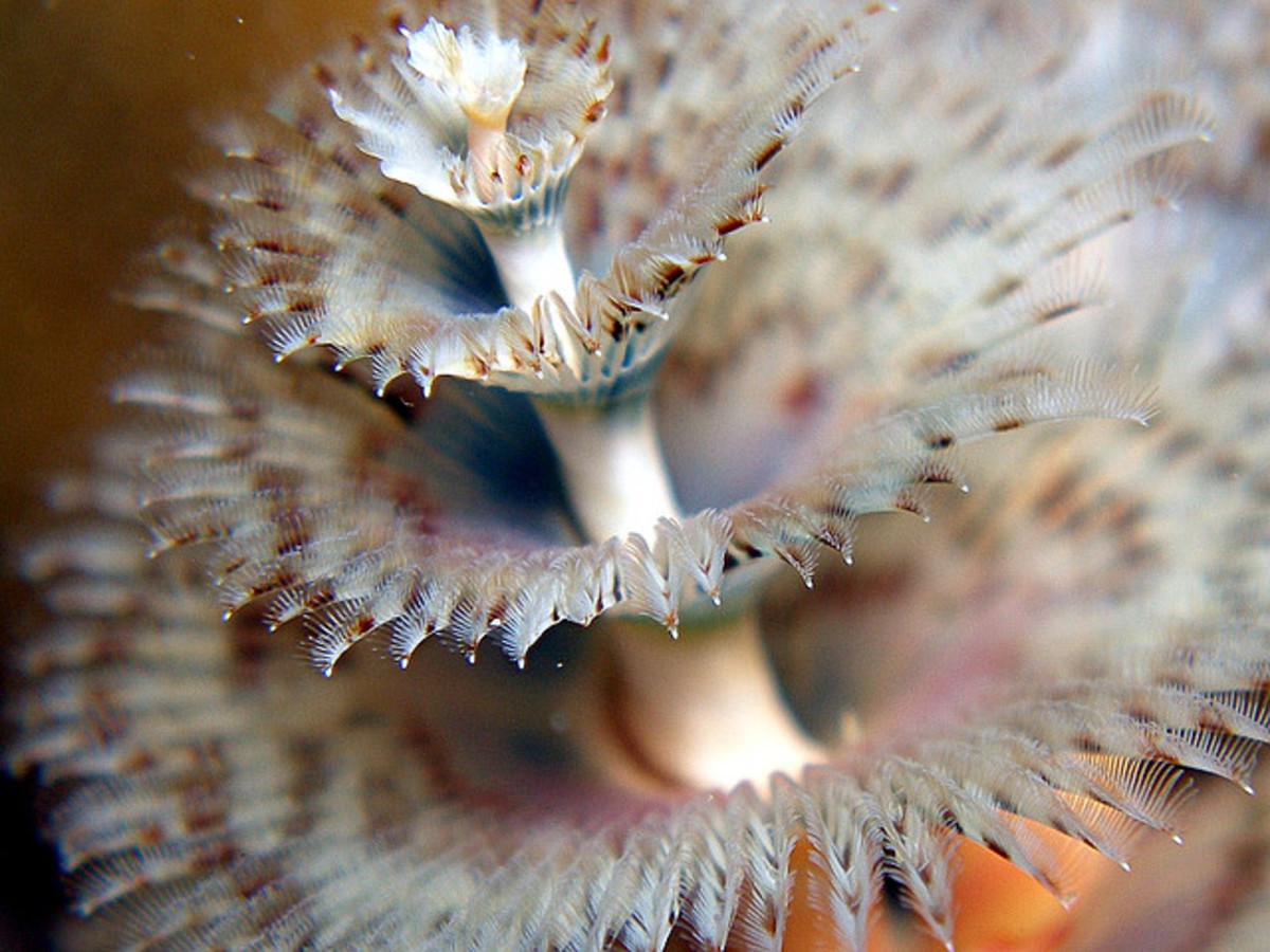 Christmas Tree Worms Facts ~ Interesting and Colorful ...