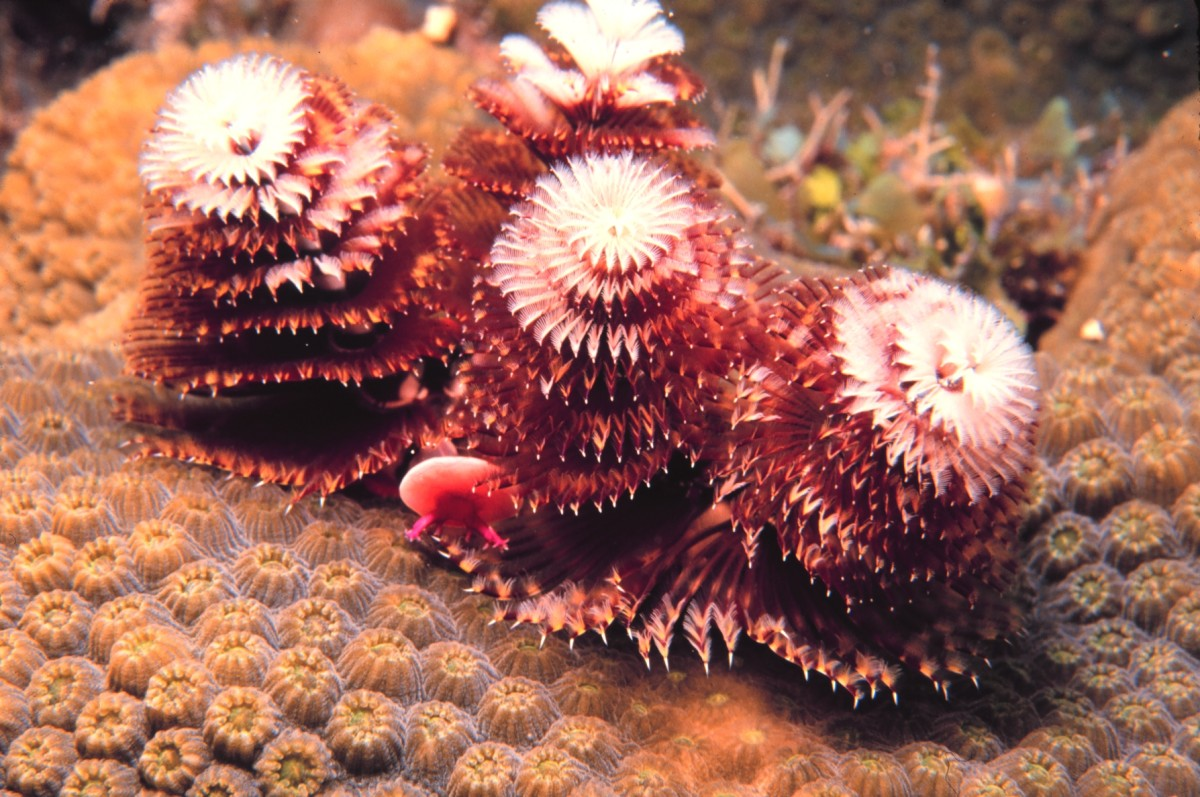 Christmas tree worms located in the Florida Keys National Marine Sanctuary
