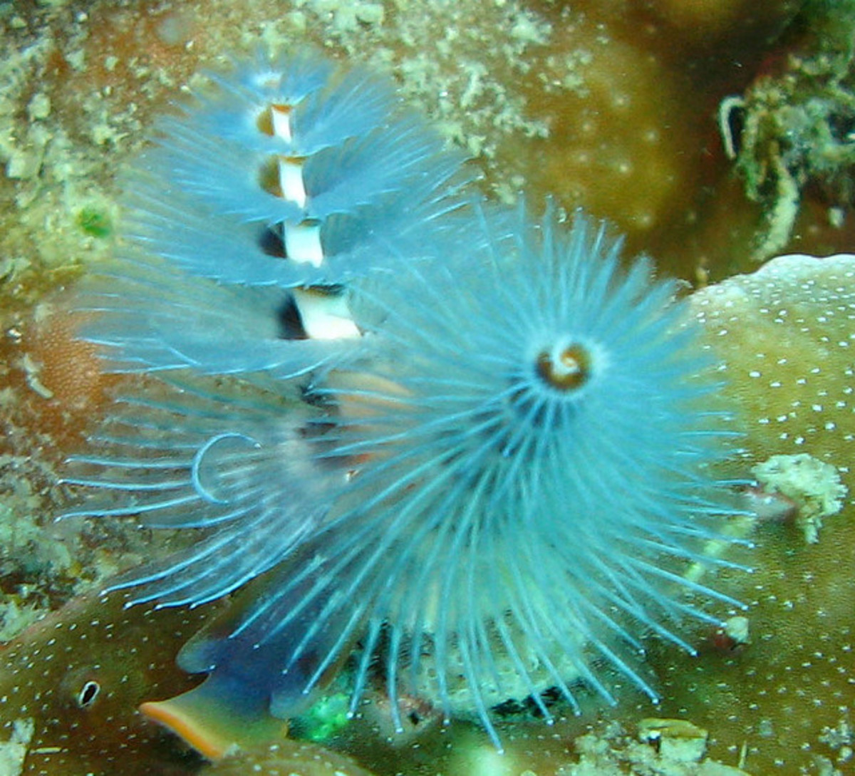 Christmas Tree Worms can be found in shades of red, orange, yellow, blue, brown and white.