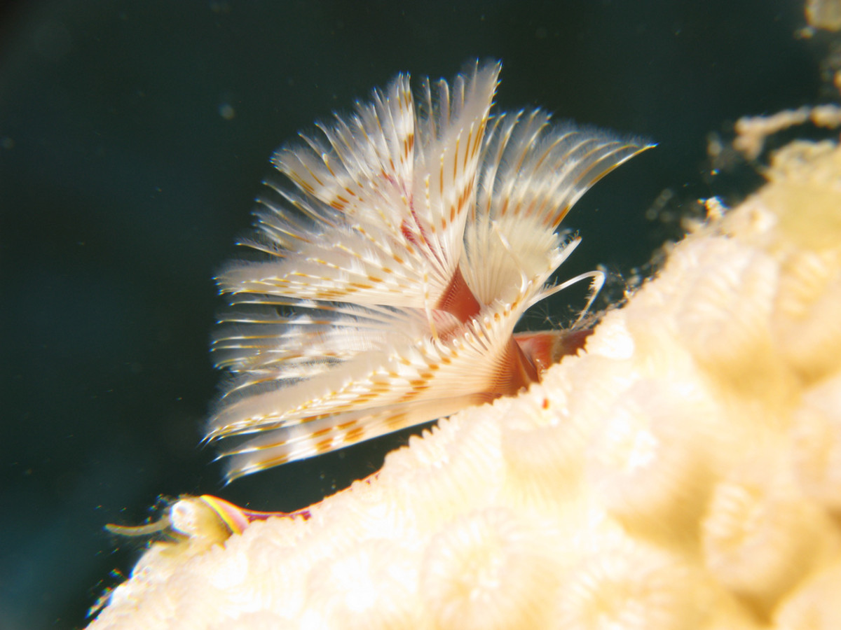Great profile of the Christmas Tree Worm.