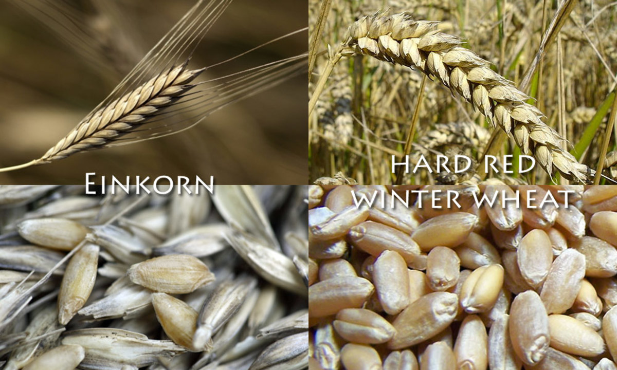 Today's modern wheat is clearly much higher-yielding than yesteryear's einkorn, but the current hybridized form sacrifices many of the nutritional benefits of its ancient ancestor.