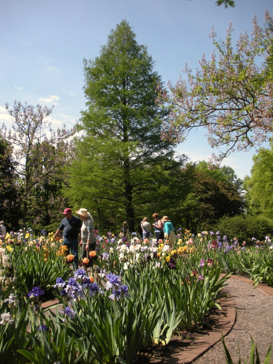 People enjoying a colorful Iris Garden.  They are strolling along a gravel path lined with brick.