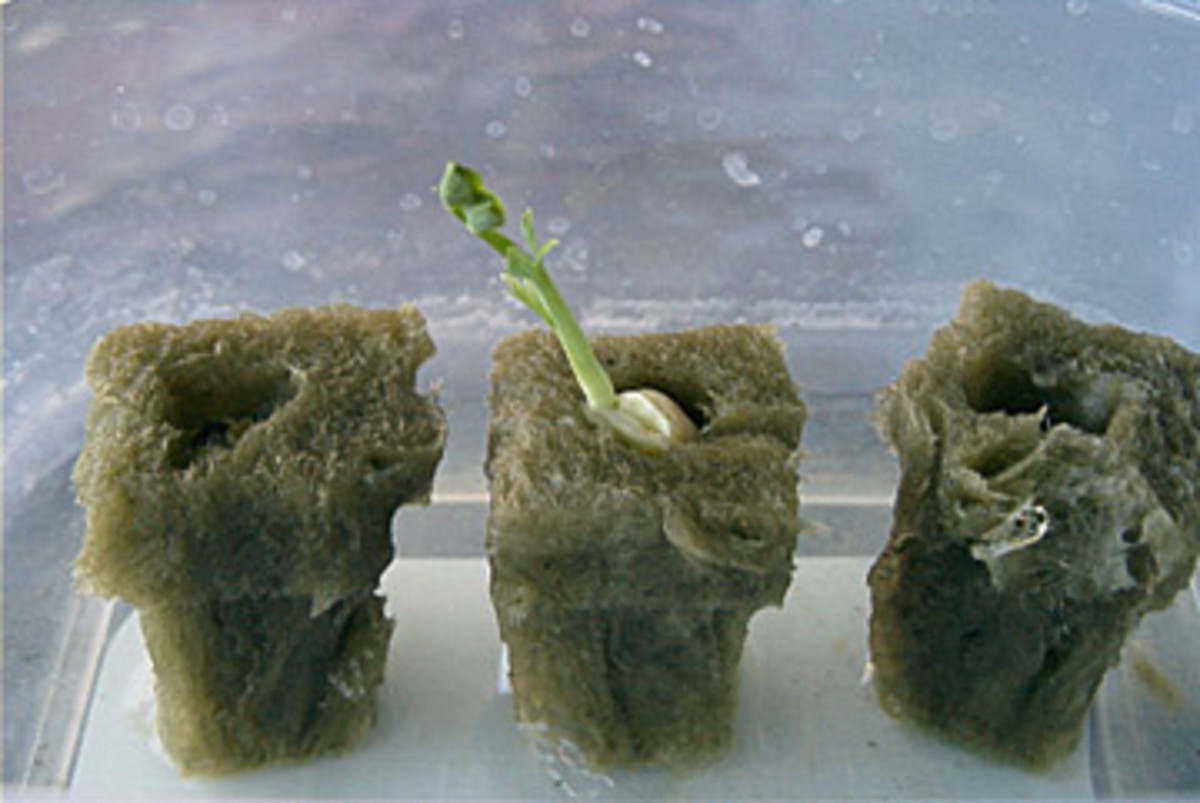 Seeds and seedling in rockwool cubes