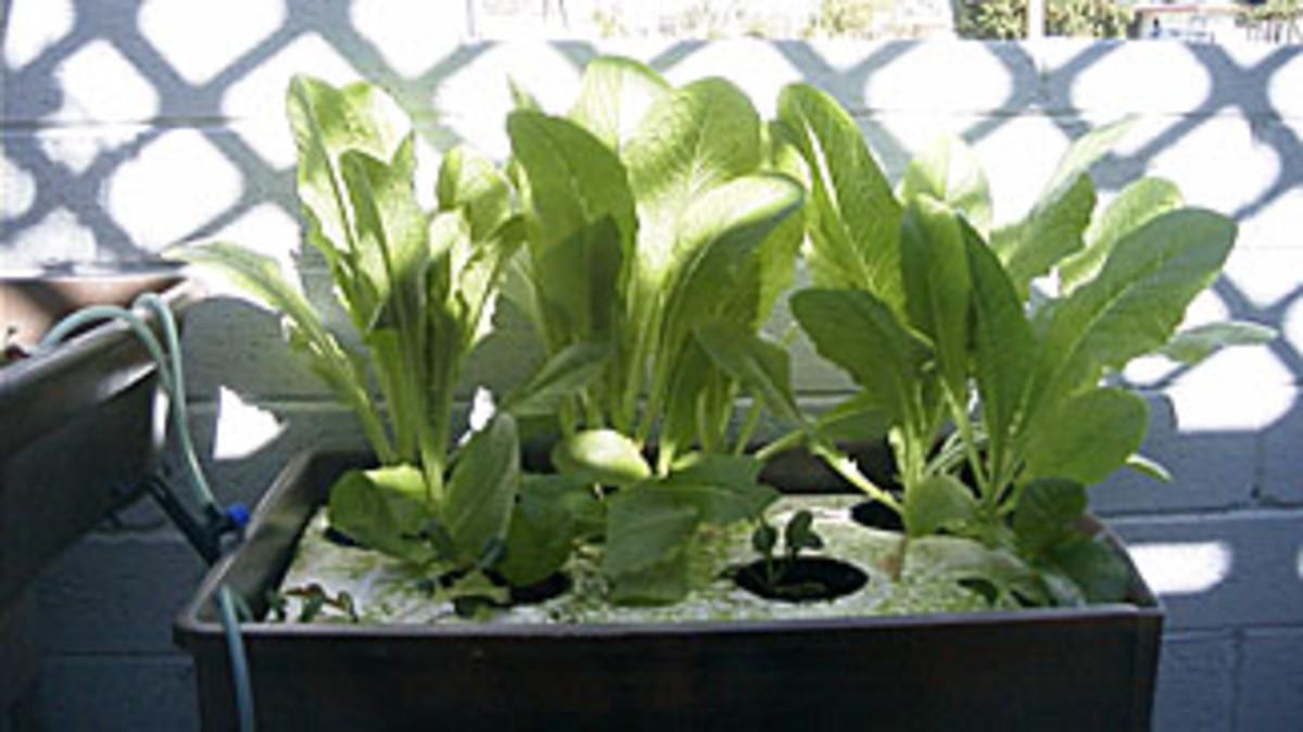 Lettuce raft hydroponic system