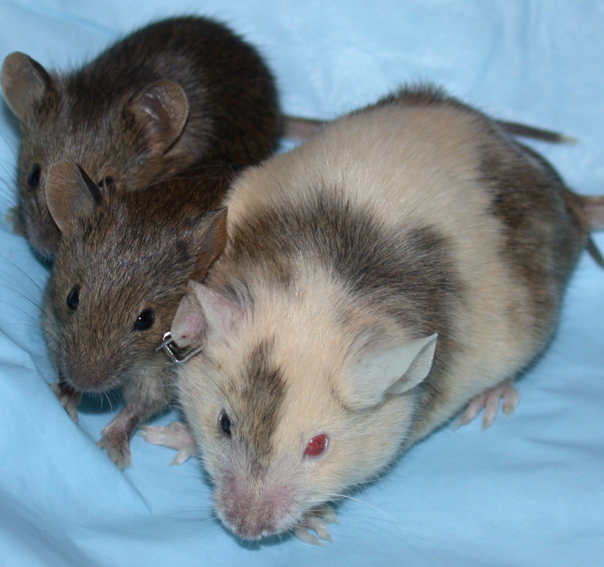Chimeric mice are often used in laboratory research. The adult chimeric mouse is fertile, but her pups will only carry the genetic material found in her reproductive tract.